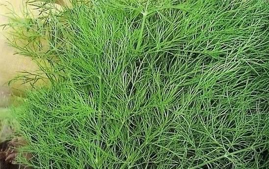 Лучшие сорта кустового укропа и их описание