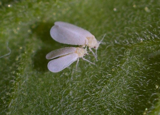 Вредители огурцов и как от них избавиться