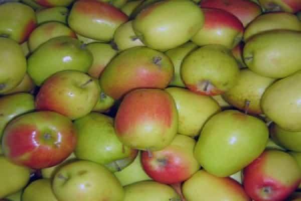 Яблоня россошанское полосатое — описание сорта, фото, отзывы