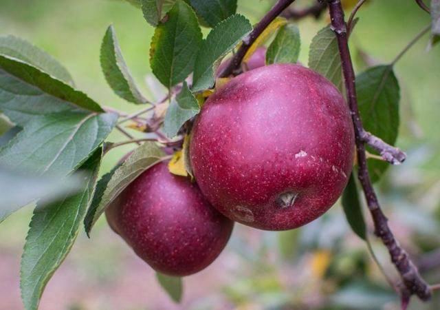 Описание и выращивание яблони лобо