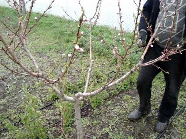 Обрезка персика — как и когда обрезать персиковое дерево