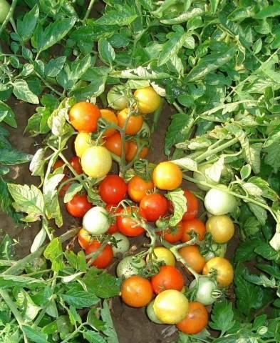 Сорт пиноккио — карликовый томат для выращивания на балконе и подоконнике