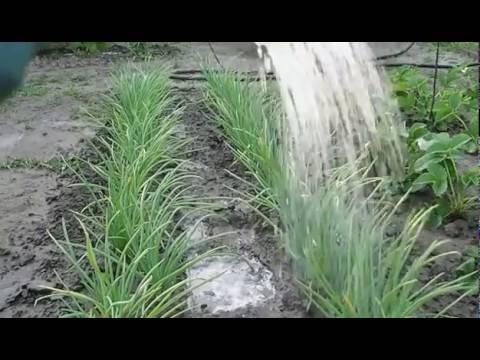 Как правильно полить лук соленой водой