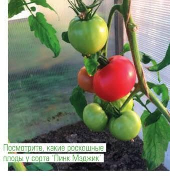Ребристые томаты тлаколула де матаморос. как их правильно выращивать?