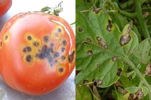 Бактериальное увядание томатов: лечение, фото