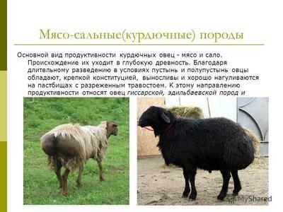 Ресторан карачаевская овца во франции. карачаевская овца. внешний вид и описание