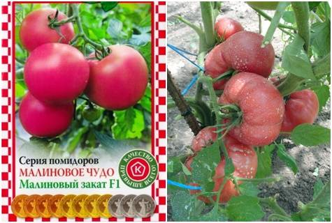 Характеристики отличных гибридных томатов серии «золотое малиновое чудо»