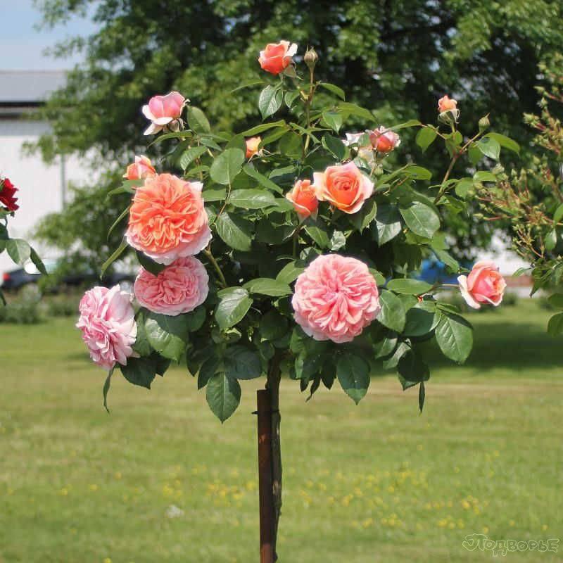 Роза чиппендейл, выращивание и уход, фото