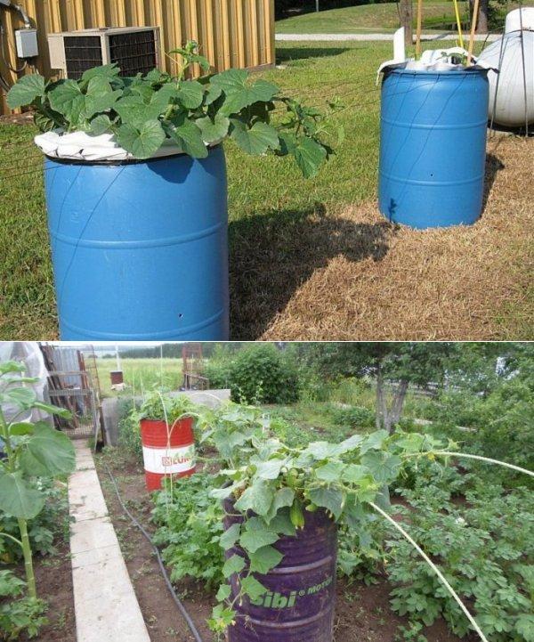 Выращивание огурцов в бочке