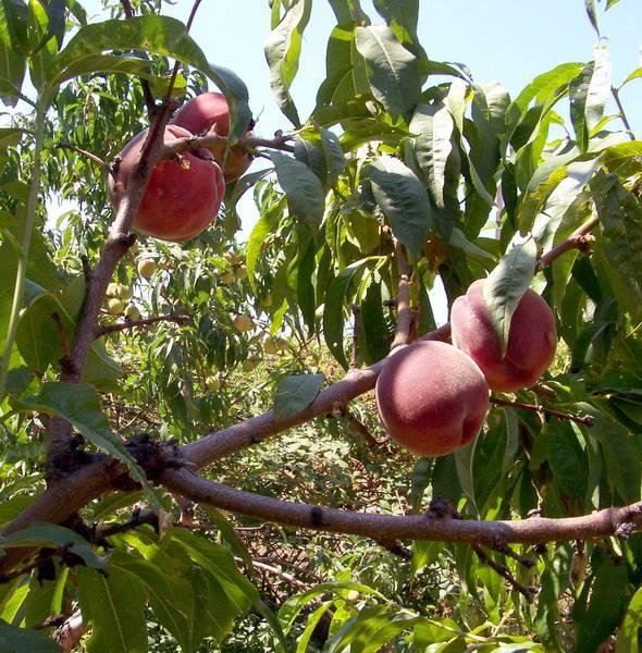 Персик понтийский — описание сорта и отзывы садоводов