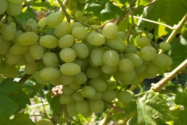 Виноград ландыш: описание сорта и особенности агротехники