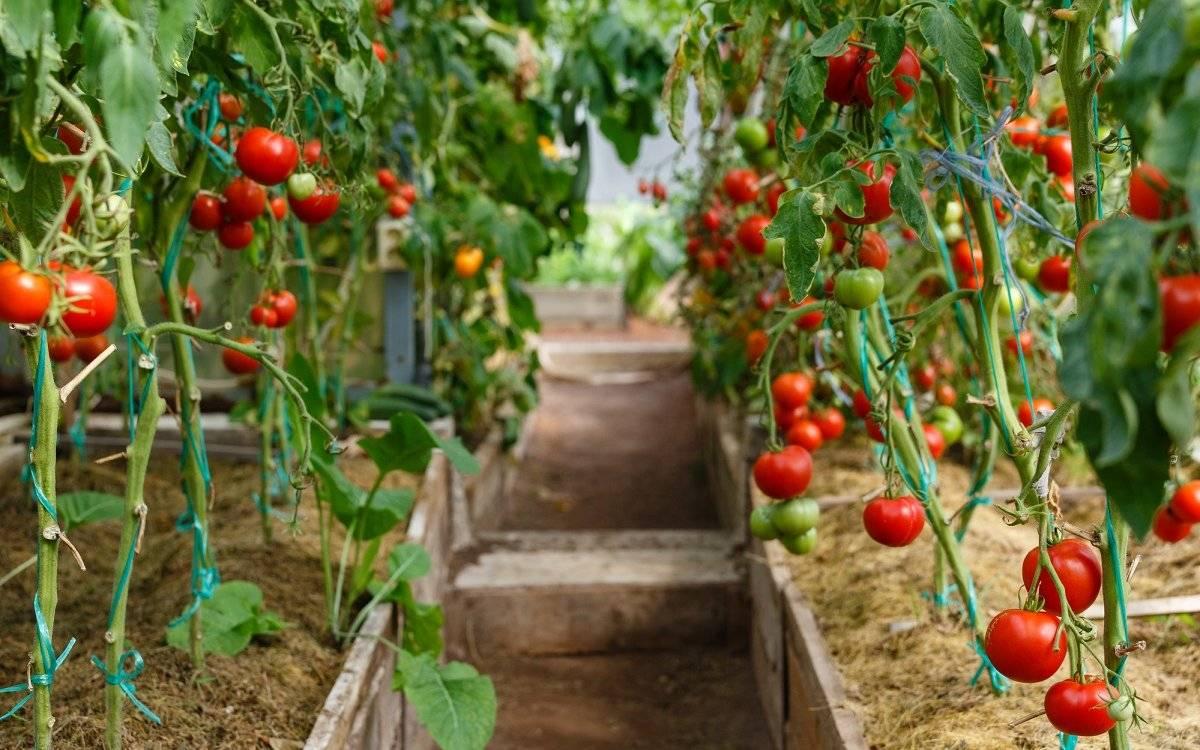 Как формировать куст помидора в один и два стебля