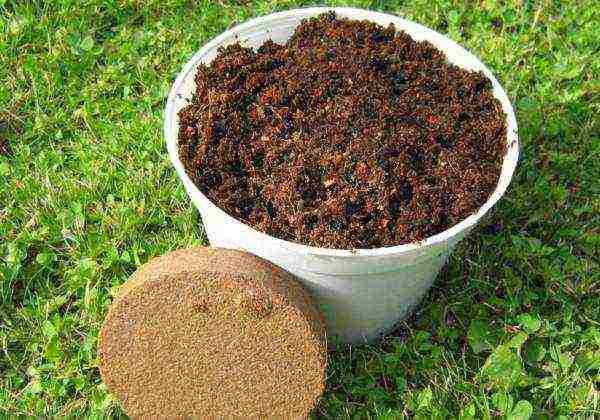 Выращивание сливы из косточки в домашних условиях