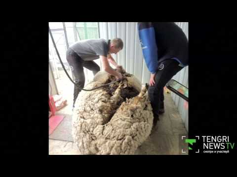 Чесалка для шерсти своими руками: обработка и прядение шерсти