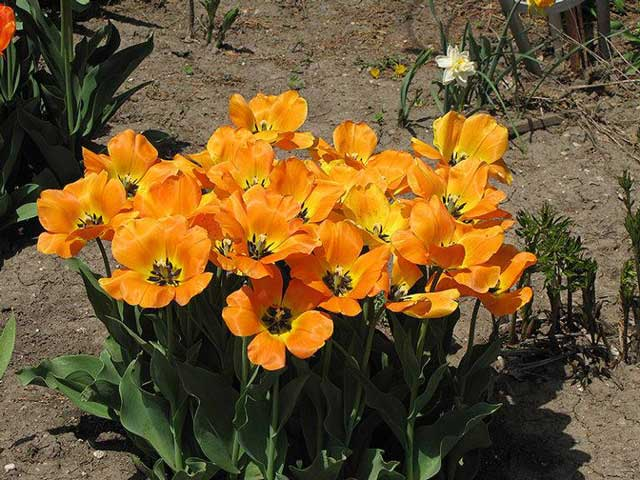 Описание и характеристики лучших и новых сортов тюльпанов
