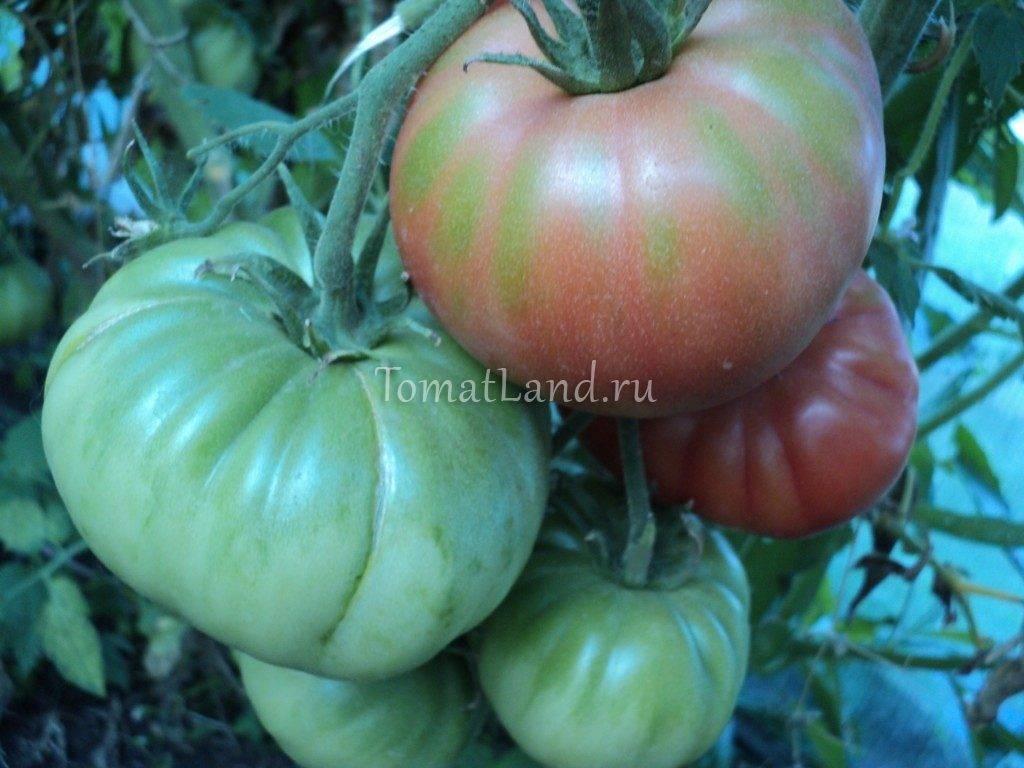 Характеристикаи описание сорта томата розовый король (царь), его урожайность