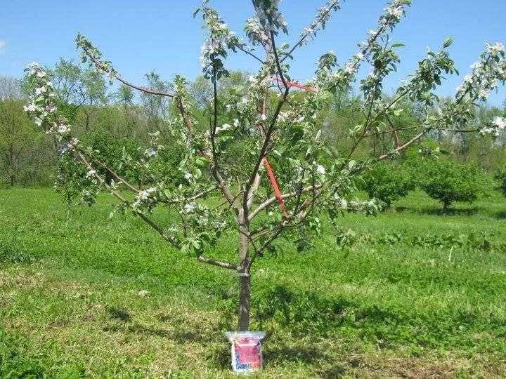 Почему не плодоносит яблоня каждый год: что делать и как заставить
