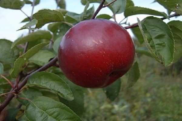 Характеристика яблони сорта коваленковское с фото