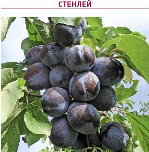 Описание сорта сливы конфетная, выращивание и уход, опылители и размножение