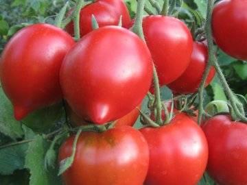 Сорт томата «примадонна f1»: описание, характеристика, посев на рассаду, подкормка, урожайность, фото, видео и самые распространенные болезни томатов