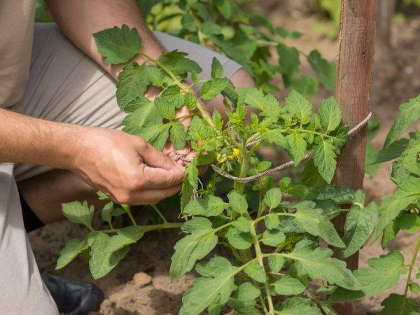 Характеристика и описание томата «петруша огородник»
