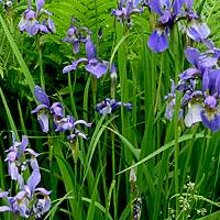 Ирисы: описание выращивания, виды и сорта