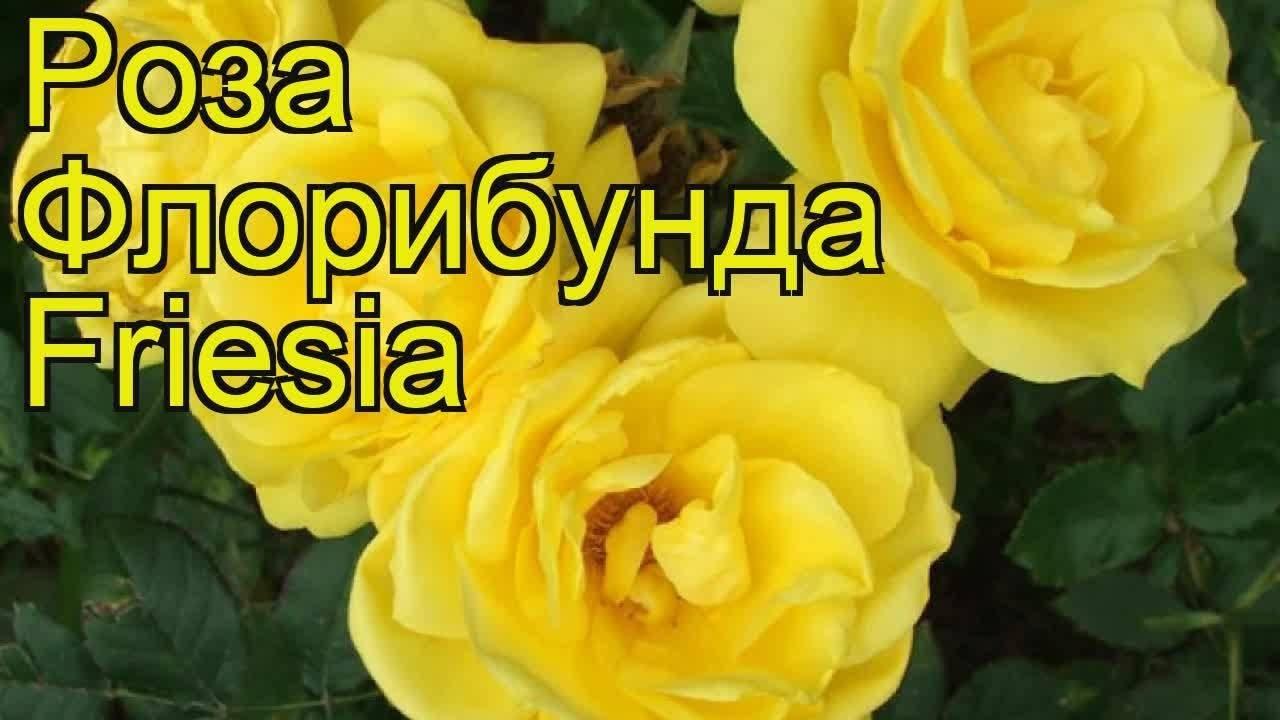 Описание и правила выращивания розы флорибунды сорта Кимоно