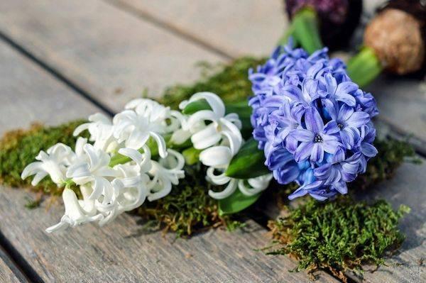 Гиацинт после цветения