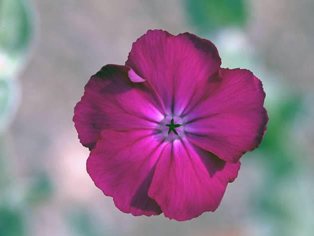 Лихнис корончатый (lychnis coronaria) — малиновый, темно-розовый окрас