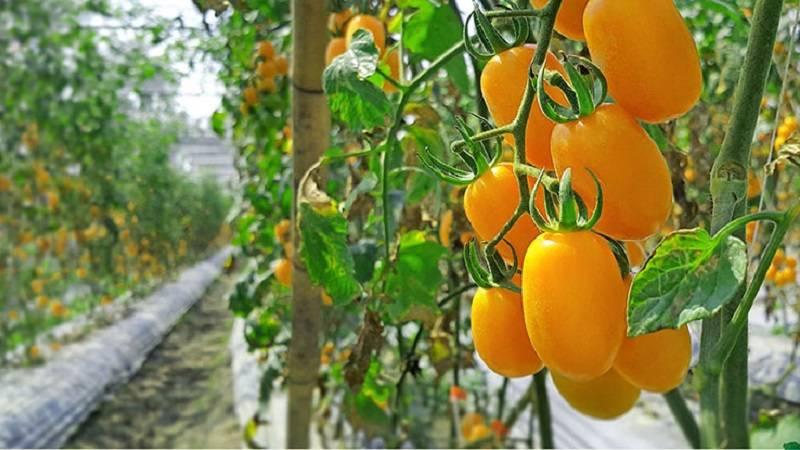 Сорт томата «золотая рыбка»: описание, характеристика, посев на рассаду, подкормка, урожайность, фото, видео и самые распространенные болезни томатов