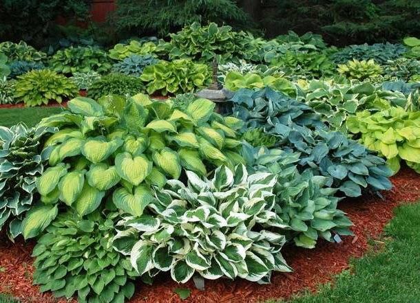 Голубая мечта садовода – 7 лучших сортов хост с синими листьями