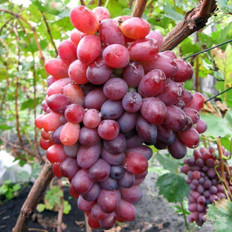 Розовые сорта винограда: обзор лучших столовых, универсальных и винных сортов