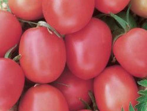 Скороспелка – раннеспелый сорт томата с отменными характеристиками
