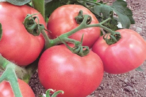 Описание сорта томата Счастье русское, особенности выращивания и ухода