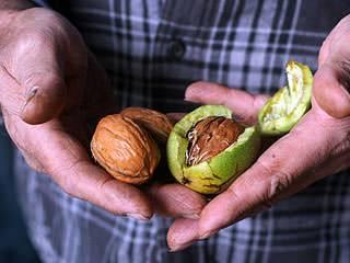 Маньчжурский орех на дальнем востоке: как вырастить и собрать полезный урожай