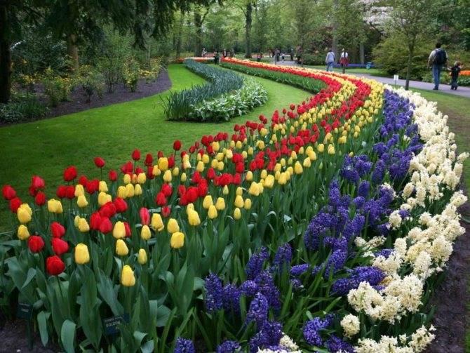 Семенной и вегетативный способы размножения тюльпанов, технология и сроки