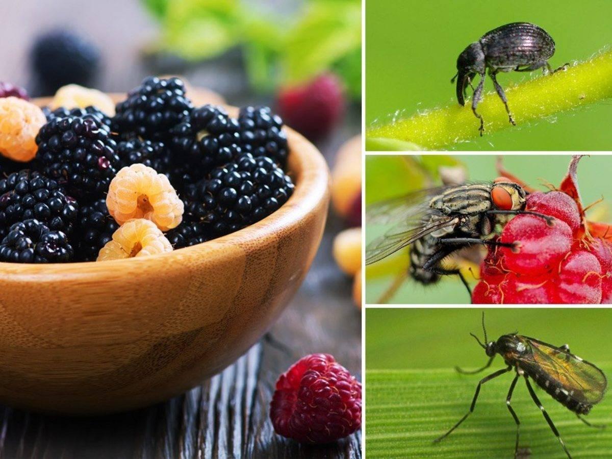 Эффективные способы борьбы с тлей на малине
