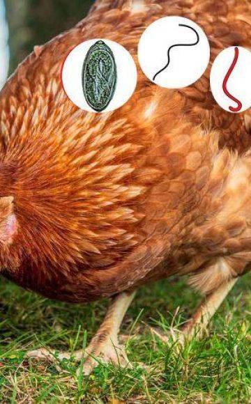 Глисты у кур: симптомы и способы лечения