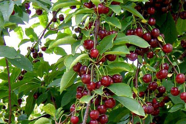 Собираем урожай вишни: удобные приспособления