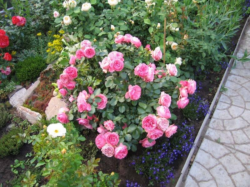 Уход и посадка розы леонардо да винчи