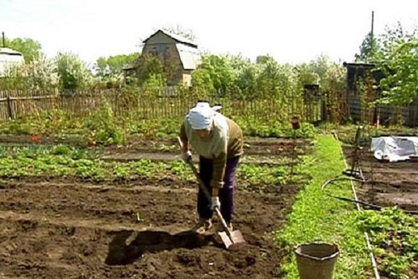 Любимый овощ с дачной грядки: разновидности и особенности выращивания свеклы