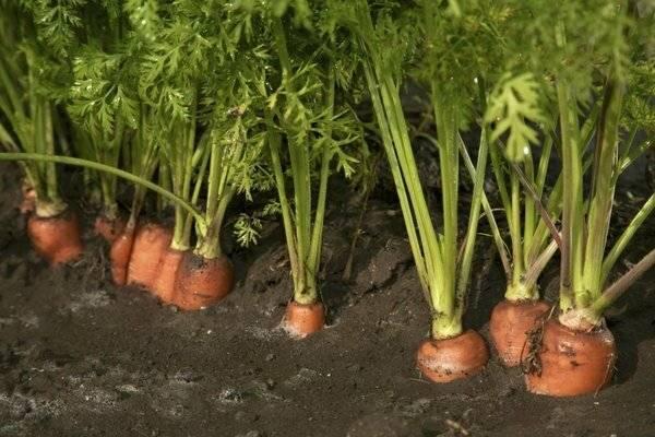 Как обработать морковь керосином от сорняков