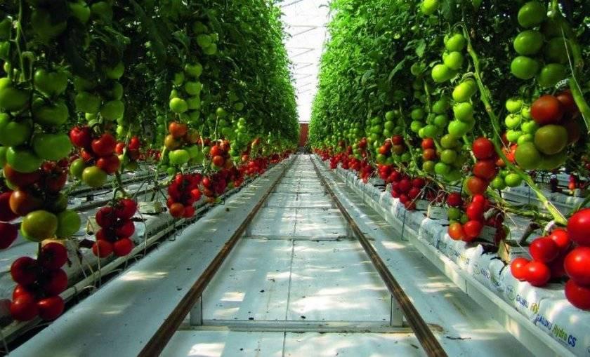 Семена помидора на гидропонике марихуана слова синонимы