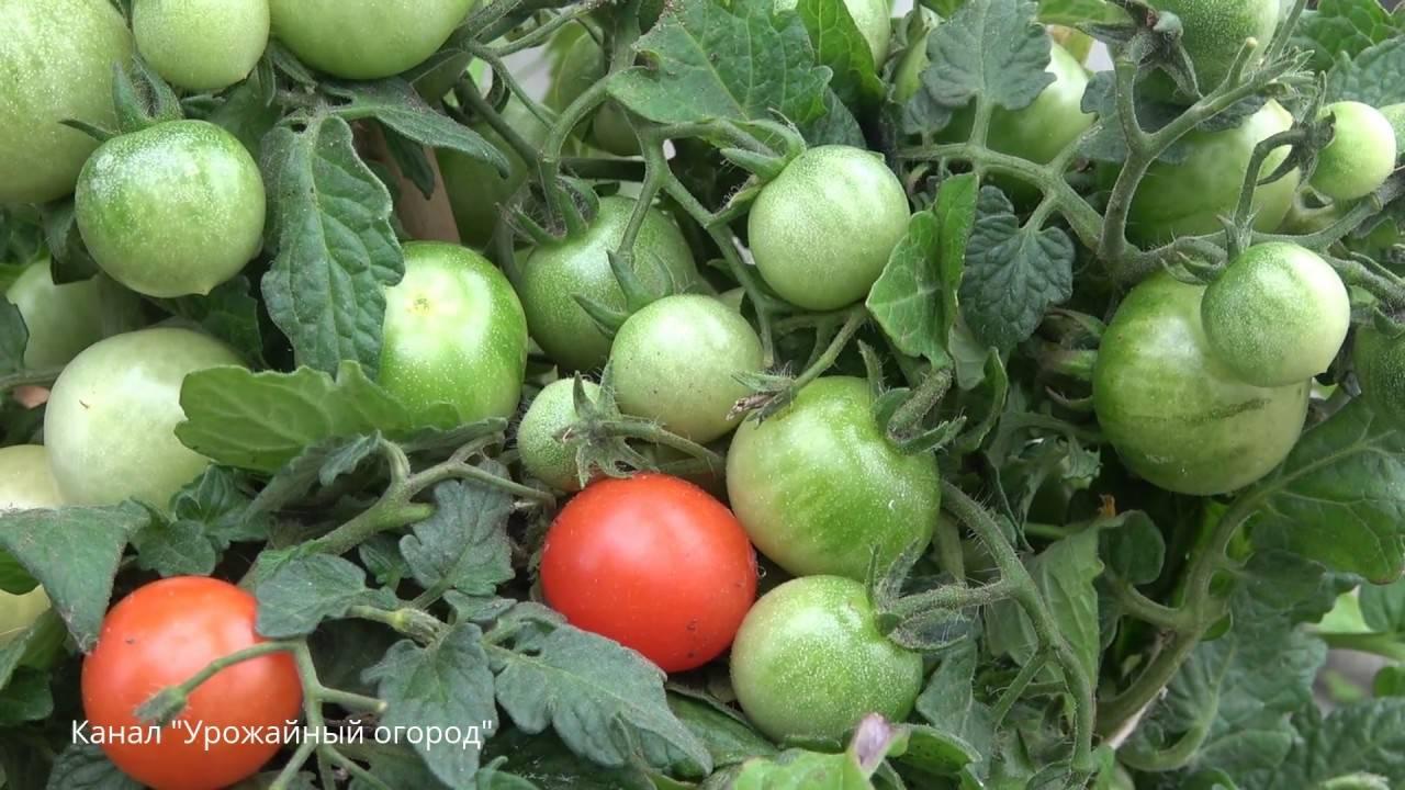 Польза борной кислоты для помидор и как ее разводить для опрыскивания