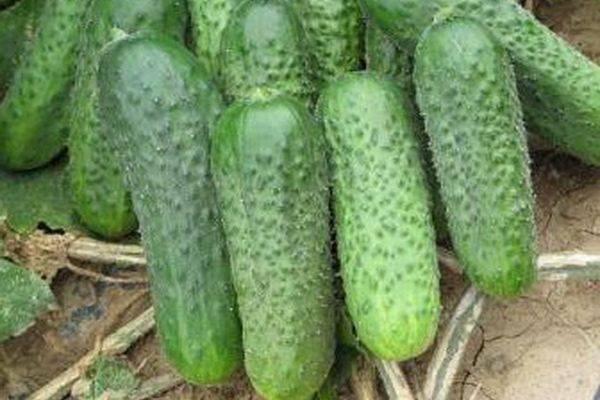 Описание сорта огурца Паркер f1, особенности выращивания и ухода