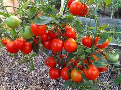Томат ямал — куст маленький, но урожайный
