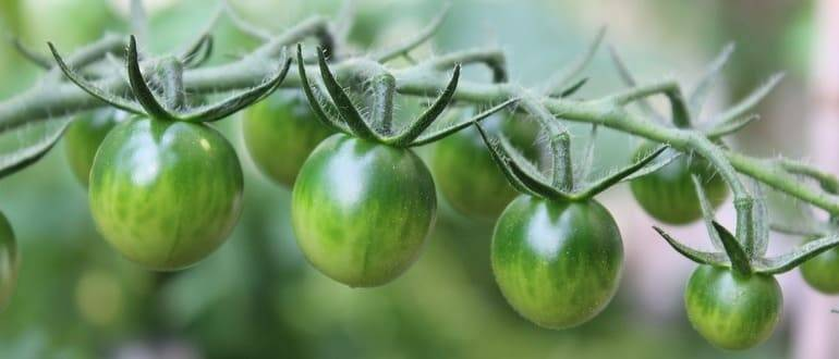 Правильная подкормка томатов в теплице: какие удобрения и когда использовать