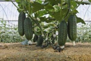 Ранние «самоопыляемые» сорта огурцов для теплицы
