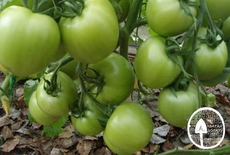 О томате вспышка: описание сорта, характеристики помидоров, посев