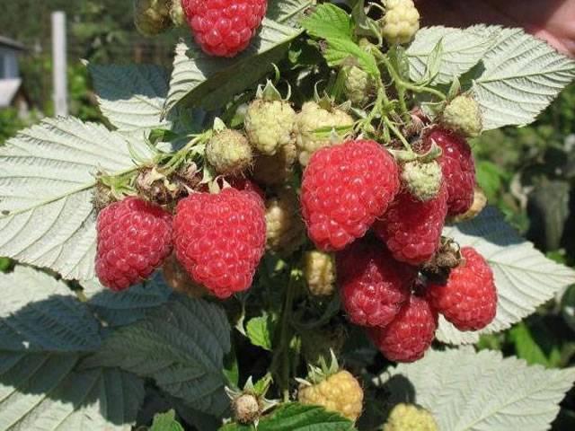 Ремонтантная малина сорта оранжевое чудо: выращиваем солнечную ягоду